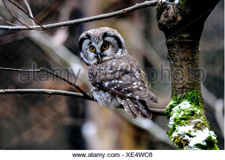 Aegolius funereus, owl, owls, griffins, raptor, bird of prey, screech owl, owls, night bird, boreal owl, bird, birds - Stock Photo