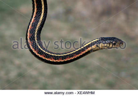 Red-sided Garter Snake (Thamnophis sirtalis parietalis). Canada - Stock Photo