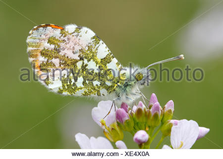 Orange Tip Butterfly (Anthocharis cardamines), male on a flower of the Cuckoo Flower or Lady's Smock (Cardamine pratensis) - Stock Photo