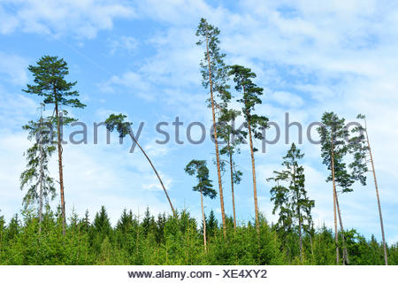 Scotch pine, Scots pine (Pinus sylvestris), some Scots pines standing out of a Norway spruce forest in summer, Germany, Bavaria, Oberpfalz - Stock Photo