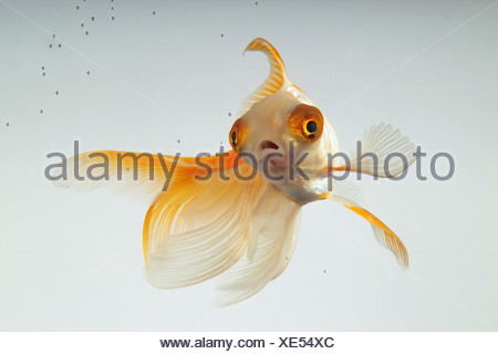 Veiltail Goldfish (Carassius auratus). Single fish in an aquarium - Stock Photo
