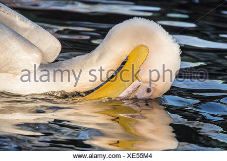 eastern white pelican (Pelecanus onocrotalus), immersing its bill in the water, side view - Stock Photo