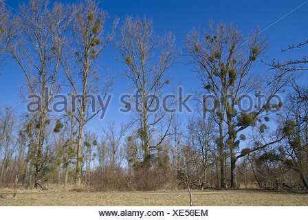 canadian poplar (populus canadensis) with mistletoes (viscum album) - Stock Photo