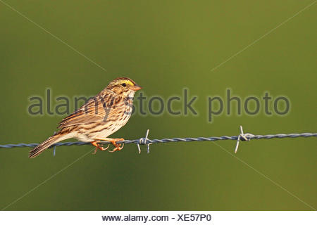 Savannah sparrow (Passerculus sandwichensis), sits on a barbed wire, USA, Florida, Myakka RSP - Stock Photo