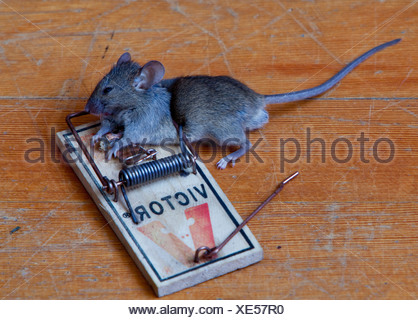 Common house mouse (Mus musculus) in trap, dead, caught - Stock Photo