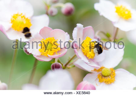 a bee collects pollen from flower, close-up - Stock Photo