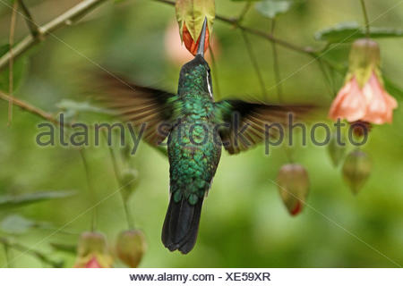 dorsal view of hoveringmale male with Abutilon - Stock Photo