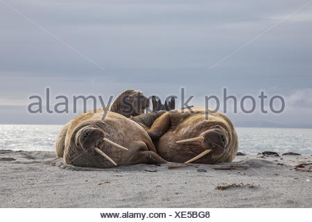 Three bull walruses rest on the beach. - Stock Photo