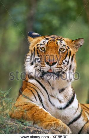 Bengal tiger Panthera tigris tigris Western Ghats India Western Ghats India - Stock Photo