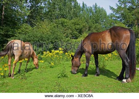 common ragwort, stinking willie, tansy ragwort, tansy ragwort (Senecio jacobaea), horses grazing on a meadow with poisonous ragwort, Senecio jacobaea, Germany - Stock Photo