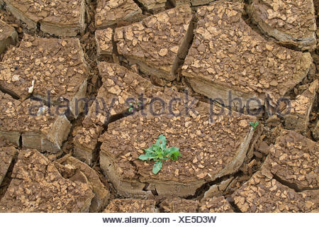 single plant growing on a soil ground flawed of drought, Spain, Andalusia, Parque Natural los Alcornocales - Stock Photo