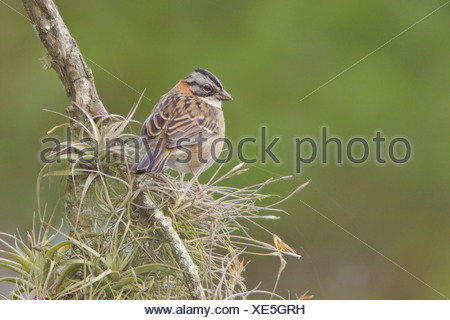 Rufous-collared Sparrow (Zonotrichia capensis) perched on a branch at the Jerusalem reserve in central Ecuador. - Stock Photo