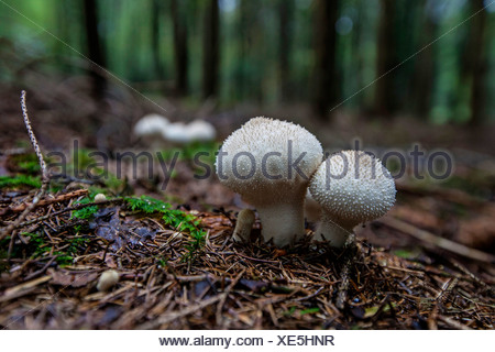 Common puffball, Warted puffball, Gem-studded puffball, Devil's snuff-box (Lycoperdon perlatum, Lycoperdon gemmatum), in spruce forest, Germany, Bavaria - Stock Photo