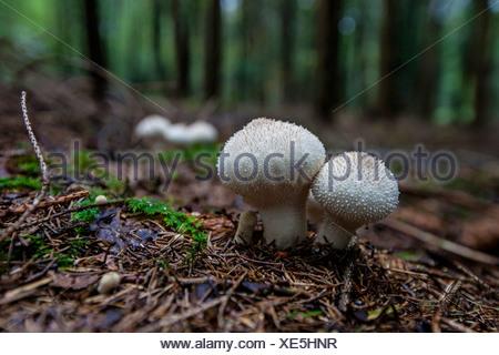Common puffball, Warted puffball, Gem-studded puffball, Devil's snuff-box (Lycoperdon perlatum, Lycoperdon gemmatum), in spruce forest, Germany, Bavaria - Stock Photo