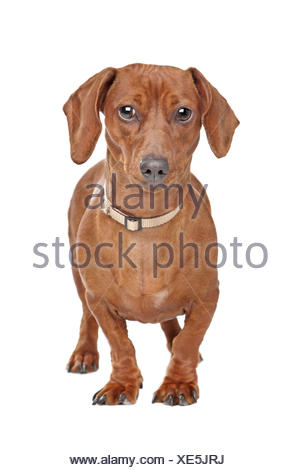 short haired dachshund - Stock Photo