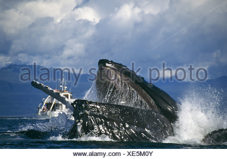 Humpback Whale bubblenet feeding, Chatham Straits, Southeast. Alaska - Stock Photo