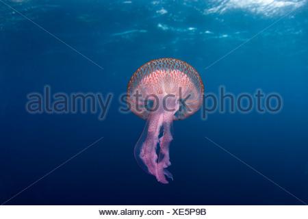 Mauve stinger jellyfish close to the surface, Marettimo Island, Egadi group, NW coast Sicily, Mediterranean Sea, Italy - Stock Photo