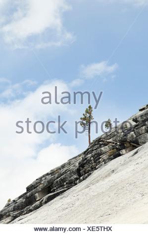 Conifer cultivar, Conifer. - Stock Photo