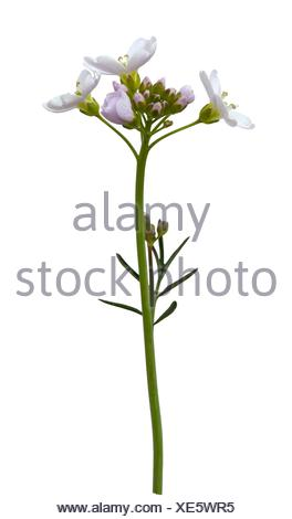 Cut-out cuckoo flower on whire background. - Stock Photo