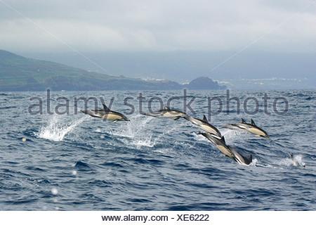 common dolphin, short-beaked Common Dolphin, saddleback(ed) dolphin, crisscross dolphin (Delphinus delphis), springing, with Fa - Stock Photo