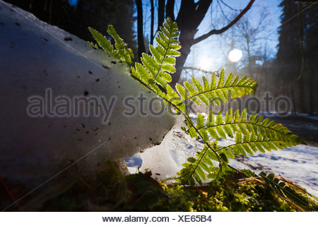 Shield ferns, Wood ferns (Dryopteris spec.), fern on the forest ground in backlight, Germany, Saxony, Vogtland - Stock Photo