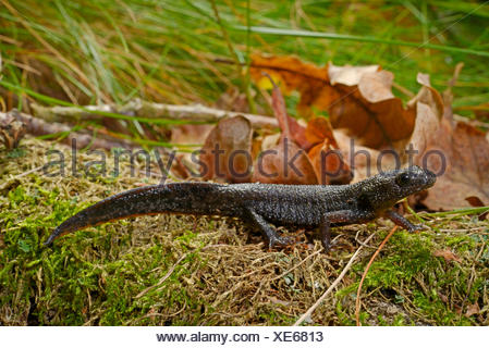 warty newt, crested newt, European crested newt (Triturus cristatus), on moss, Sweden, Smaland - Stock Photo