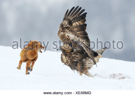 Golden Eagle (Aquila chrysaetos) fighting with a red fox (Vulpes vulpes) over a carcass, Sinite Kamani Nature Park, Bulgaria - Stock Photo