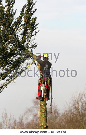 Norway spruce (Picea abies), lumberman felling a spruce, Germany, North Rhine-Westphalia - Stock Photo