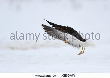 Lesser black-backed gull (Larus fuscus) landing in snow, northern Finland, Finland - Stock Photo