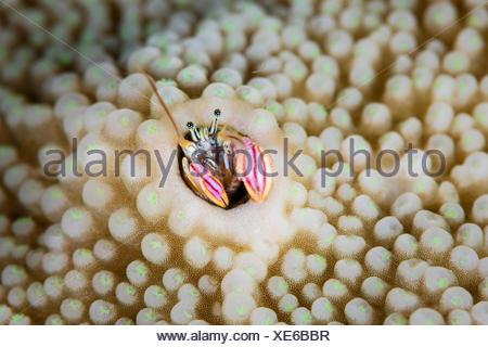 Coral Hermit Crab, Paguritta harmsi, Melanesia, Pacific Ocean, Solomon Islands - Stock Photo