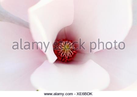 Single open magnolia greets the day  Pale pink petals open to the sun  Center detail - Stock Photo