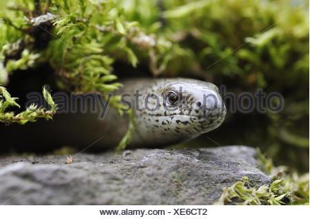 Blindworm, Anguis fragilis, Slow-worm, portrait, - Stock Photo