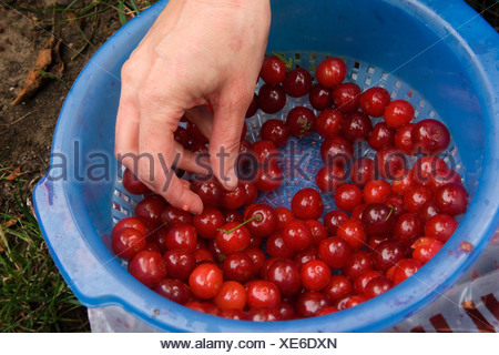 Berlin cherry harvest, in a Berlin allotment - Stock Photo