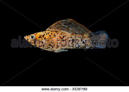Yucatan molly 'dalmatian' (Poecilia velifera) on black background, native from Central America (Texas , Guatemala and Mexico), captive from France - Stock Photo