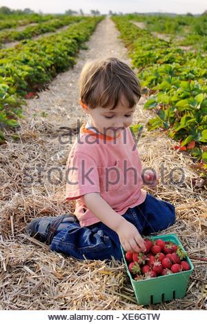 Young Boy Picking Strawberries, Uxbridge, Ontario - Stock Photo