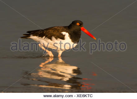 American Oystercatcher (Haematopus palliatus) - Fort Desoto State Park, Florida - Stock Photo