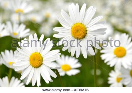 oxeye daisy (Chrysanthemum leucanthemum, Leucanthemum vulgare), blooming, Germany - Stock Photo