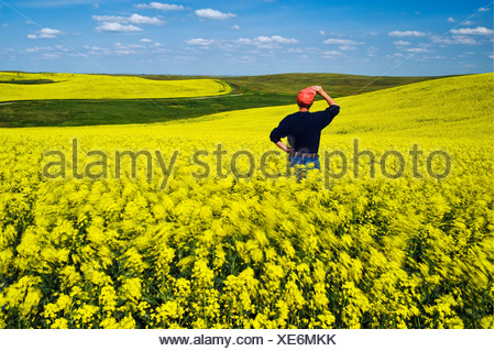 a man looks out over a bloom stage wind-blown canola field, near Lake Alma, Saskatchewan, Canada - Stock Photo