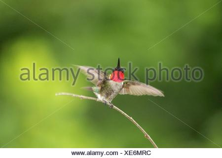 Humming bird perching on twig - Stock Photo