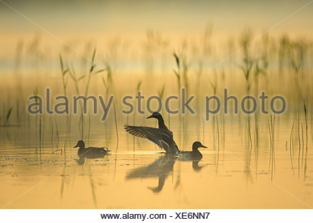 Mallards (Anas platyrhynchos) and reed in the morning - Stock Photo