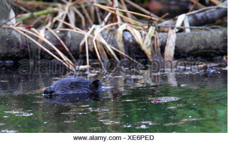 Eurasian beaver, European beaver (Castor fiber), swimming, Germany, North Rhine-Westphalia, Eifel - Stock Photo