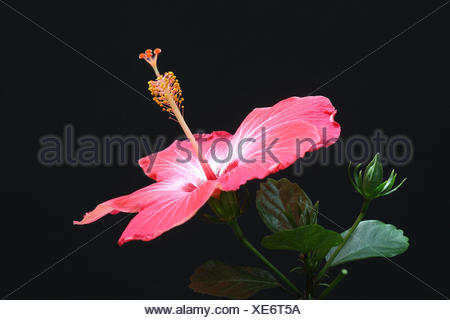 Chinese rose mallow, detail, blossom, - Stock Photo