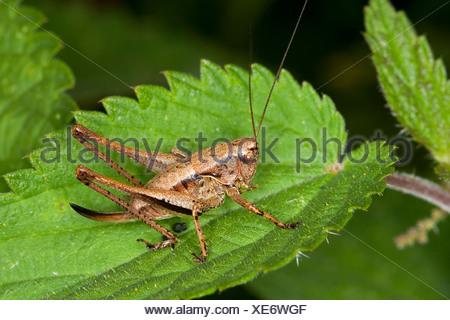 dark bushcricket (Pholidoptera griseoaptera, Thamnotrizon cinereus), sitting on a leaf, Germany - Stock Photo