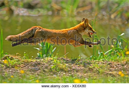 Red Fox, vulpes vulpes, Adult running, Normandy - Stock Photo