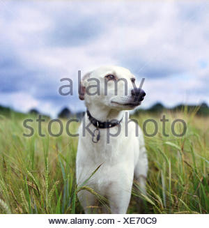 Portrait of Whippet dog standing in wheat field - Stock Photo
