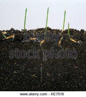 Wild oat (Avena fatua) seedlings germinating in glass-sided tank to show seeds & roots - Stock Photo