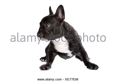 Black and white French Bulldog in front of a white background - Stock Photo