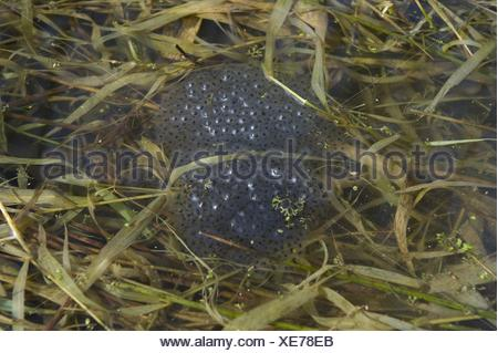 grass frog spawn - Stock Photo