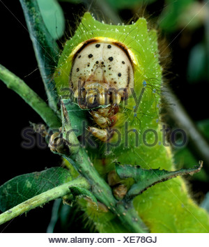 Chinese oak silworm or tussar moth Antheraea pernyi caterpillar on oak foliage - Stock Photo