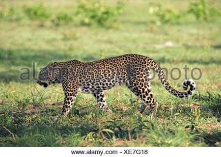 Leopard (Panthera pardus), female adult, Sabisabi Private Game Reserve, Kruger National Park, South Africa, Africa - Stock Photo
